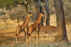 Young Giraffes at Sunset - Wall Mural & Photo Wallpaper - Photowall