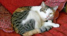 Tricolour/white tortoiseshell cat