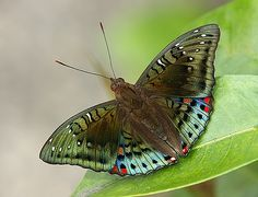 Green Baron(Euthalia adonia pinwilli) photographed by Richard Ong in Singapore
