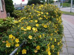 Třezalka rozkladitá - Hypericum patulum Maine House, Garden, Plants, Garten, Lawn And Garden, Gardens, Plant, Gardening, Outdoor