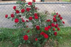 Use as bush in cold climates, as vigor is somewhat weak to use as climber. Always in bloom, very healthy, almost no scent. Rain tolerant and cold hardy. Dublin Bay, Heirloom Roses, Rose Bush, Rose Photos, Colorful Garden, Garden Plants, Red Roses, Color Schemes, Bloom