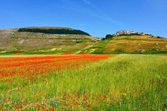 La straordinaria fioritura di lenticchie di Castelluccio di Norcia dopo il sisma