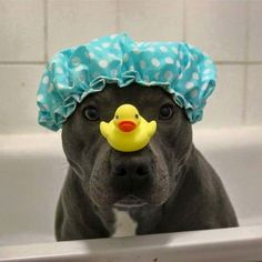 Oooohhmm my goodness...too cute!! Pit bull love♡♡♡