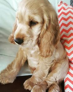 Introducing Jasper the Cocker Spaniel at just 10 weeks old
