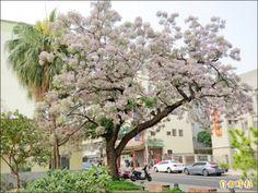 台南州知事官邸前的苦楝樹,白色淡紫的花開滿樹,像是被白雪覆蓋一般,十分漂亮。(記者蔡文居攝) Plants, Plant, Planets
