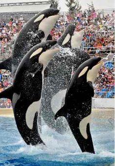 Four of SeaWorld' San Diego's killer whales (Orcas) leap out of the water - Sea World San Diego Theme Park Southern California Arte Orca, Seaworld Orlando, Orcas Seaworld, Orlando Florida, San Diego Travel, San Diego Beach, Delphine, California Dreamin', Killer Whales