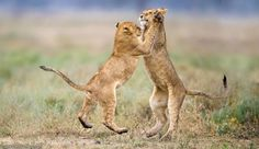 Adorable Picture Of African Lions, Nice n Funny