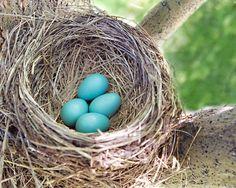 Robin's Eggs. Meadowbrook Farm