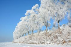 Beautiful ice covered trees on the bank of Songhua River in Jilin, China, January 12, 2015