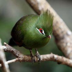 Green Turaco...