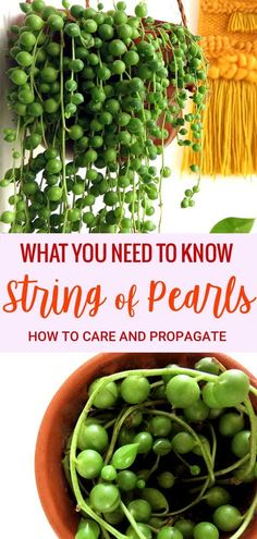 A hanging plant that gives you strings of Pearls! Yes please! What you need to know to care for and propagate an indoor String of Pearls plant. | Read more at modandmint.com | #stringofpearls #succulents #plantcare #indoorplants #houseplants #hangingplants #houseplantscare...