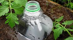 DIY Drip Irrigation System, Made from Plastic Bottles.yes must do in pots then plant can cover bottle and will not wilt so easy Soda Bottles, Plastic Bottles, Drip Irrigation System, Growing Tomatoes In Containers, Garden Posts, Self Watering Planter, Tomato Garden, Small Space Gardening, Garden Projects