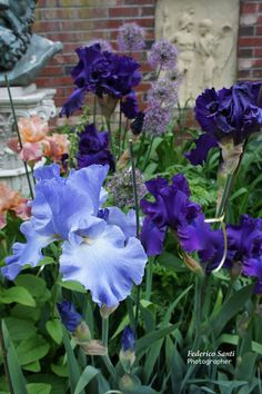 "Iris come in many colors and color combinations, these blue and purple flowers and about 6"" across."
