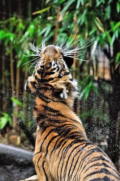 Manis ♀ - Tried Drying Herself Up... (by Sumatra-Tiger, via Flickr)