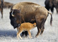 American Bison and Calf, Nebraksa - by Diana Robinson Bison Pictures, Buffalo Pictures, Large Animals, Cute Baby Animals, Animals And Pets, American Bison, American Animals, Beautiful Creatures, Animals Beautiful