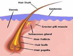 image of pilosebaceous unit