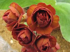 Scottish Rock Garden Club - >Wisley Alpine Log  - Primula auricula 'Cinnamon'