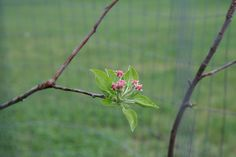 Vintage Virginia Apple Tree blooming at Montfair Resort Farm
