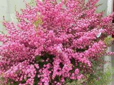 "Leptospermum -Tea tree.''Tickled Pink"" Large showy pink flowers.Evergreen,spreading for low maintenance garden,or container,drought resistant."