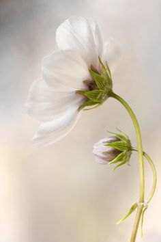 Cosmos by Mandy Disher on 500px