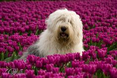 Two Adorable Sheepdogs Living in the Netherlands - My Modern Metropolis
