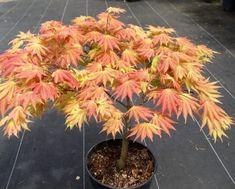 Home ⋆ Eastfork Nursery Rare Japanese Maples Eastfork Nursery Japanese Maple Varieties, Japanese Red Maple, Red Maple Bonsai, Maple Tree, Acer Trees, Garden Shrubs, Acer Garden, Garden Landscaping, Japanese Plants