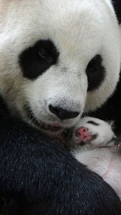 Separated at birth, but back together: Yuan Yuan, the giant panda who was recently reunited w