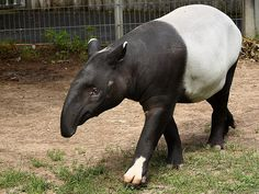 Tapirs are said to resemble a Baku, which in Japanese mythology are creatures that roam the night sucking up dreams and nightmares with their trunks. <3