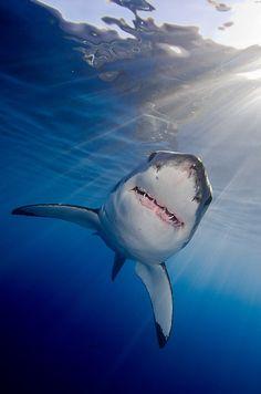 White shark by Carlos Villoch.