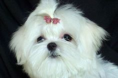 Always Maltese, Maltese breeders of Maltesse show dogs and Maltese puppies.