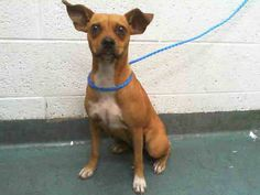 SUKI (A1649350) I am a female brown Terrier mix.  The shelter staff think I am about 4 years old.  I was found as a stray and I may be available for adoption on 10/08/2014. — hier: Miami Dade County Animal Services. https://www.facebook.com/urgentdogsofmiami/photos/pb.191859757515102.-2207520000.1412542951./849084091792662/?type=3&theater