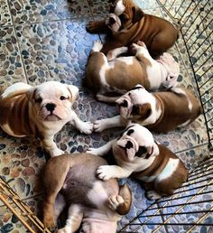 I cant even deal with this!!! American Bulldog puppies