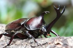 Kabutomusi - rhinoceros beetle (male) : Most Japanese boys love this beetle very much.