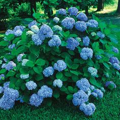 Hydrangea macrophylla Nikko Blue is the most reliable of the blue-flowered selections, with exceptionally large bloom that are consistently truer blue in a wide range of soils. Flowers appear in June, a month earlier than most, and continue until frost. These shade-tolerant plants grow well under trees or on the shady side of a building.