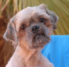 Francois is understandably perplexed, but very sweet and trusting us.  After being abandoned and rescued, then having his matted coat shaved away for a fresh start, he watches you carefully when you tell him how cute he looks, desperate for reassurance.  Francois is a Lhasa Apso, 3 years of age, now neutered and debuting for adoption today at Nevada SPCA (www.nevadaspca.org).  He enjoys other dogs and we would love to find him a peaceful home environment.
