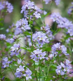 Buy Campanula lactiflora 'Prichard's Variety' from Sarah Raven: A traditional cottage garden favourite with rounded clusters of pale violet, bell-shaped flowers. Garden Shrubs, Garden Plants, Indoor Plants, Cottage Garden Borders, Biennial Plants, Plant Delivery, Summer Plants, Home Flowers, Flowers