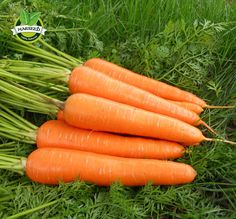 200 seeds , Five Inches  Carrot seed, good taste ,yard or potted fruit vegetable seeds for home garden planting #clothing,#shoes,#jewelry,#women,#men,#hats,#watches,#belts,#fashion,#style