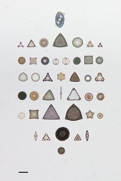 Des arrangements géométriques de micro algues diatomées au microscope algue microscope geometrie 09 532x800