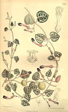 Ceropegia woodii - Wikipedia, the free encyclopedia Cactus Drawing, Plant Drawing, Cactus Art, Chain Of Hearts Plant, Plant Illustration, Botanical Illustration, Photography Illustration, Botanical Drawings, Botanical Prints