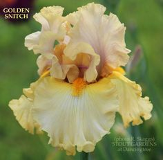 Iris GOLDEN SNITCH | Stout Gardens at Dancingtree