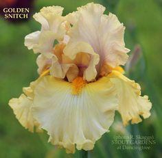 Stout Gardens at Dancingtree - Iris GOLDEN SNITCH