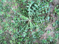 Ζοχός-Sonchus oleraceus Magic Herbs, Dream Garden, Gardening Tips, Survival, Plants, Blog, Deli, Greek, Flora