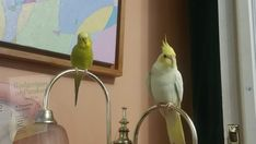 Budgerigar Bird, Budgies, Parrot, Birds, Animals, Parrot Bird, Parakeets, Animales, Animaux