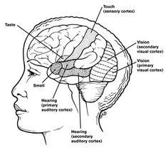 orbitofrontal cortex taste and smell relationship