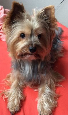 Cute yorkie dog #yorkshireterrier