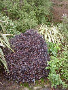 Pittosporum tenufolium 'Tom Thumb' Plants, Grass, Pool Area, Border, Zone 7