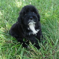 My name is Sophie I am going to live with my new family in Canada. My dads name is Paul and my Mom is Erin. They so love me and I am excited. My Dad, Mom, Cutest Puppy Ever, Portuguese Water Dog, Spaniels, Cute Puppies, Cute Animals, Dads, Canada