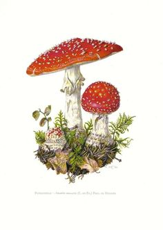 Mushrooms - fly agaric, fly amanita, amanita muscaria, vintage original lithograph, 1960 #art #illustration #mushroom #toadstool