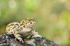 Natterjack toad by Juanma Hernández on 500px