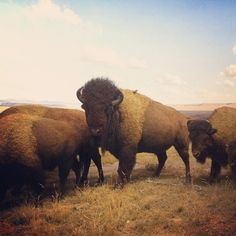 .I love buffalo, whenever I see one I am totally fascinated by them, I have a beautiful piece of art of a family of buffalo magnificent! they just touch me very deeply